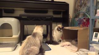 Download 他の猫が子猫をいじくっていたら、母猫が・・・ついに一撃。an angry mother cat attacks brutally Video