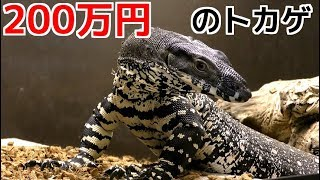 Download 200万円のオオトカゲにマウスを与えまくる! Lacemonitor eat mouse Video