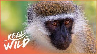 Download Street Monkeys - Exiles [Documentary Series] | Wild Things Video
