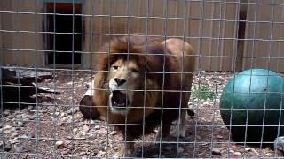 Download Lion Roar Video