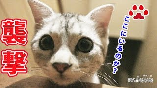 Download 新入り仔猫が先住猫の住む部屋を襲撃しようとした The kitten tried to attack the cat in the cat room 【瀬戸のアリス日記】 Video