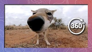 Download Close Encounter with a Jackal in 360 5K Video
