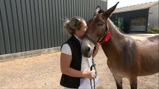 Download Half donkey - half horse. Meet Wallace the winning mule. Video