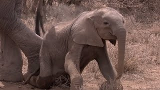 Download Elephant Calf Starves To Death Due To Drought | Africa | BBC Video