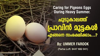 Download Caring for Pigeons Egg during heavy Summer Video