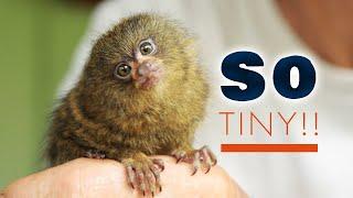 Download Ninita the World's Smallest Monkey Video