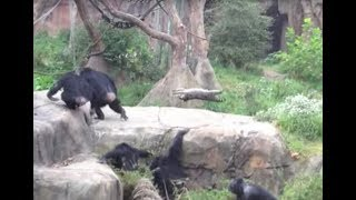 Download chimps vs. raccoon Video