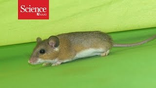 Download Can house mice help us figure out when people settled down? Video