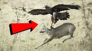 Download ये हैं दुनियां के सबसे खतरनाक पक्षी : Most Deadly EAGLES Attacks 2019 - Golden Eagle vs Goat Video