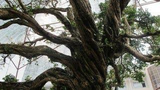 Download Tận mắt chứng kiến cây nguyệt quế hơn 10 tỷ đồng! Video