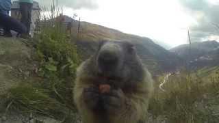 Download Marmotta mangia dalla mano Video