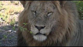 Download Pt 2 Wild Earth Live Sunrise Safari Drive at 6:30 AM on Dec 02 2016 ( Lions ) Video