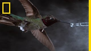 Download See Hummingbirds Fly, Shake, Drink in Amazing Slow Motion | National Geographic Video