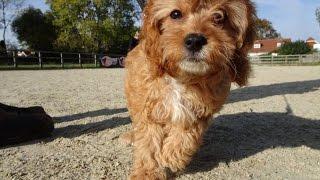 Download Walter - Cavapoo - 4 Weeks Residential Dog Training Video
