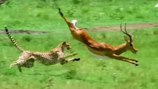 Download Triumph of the Herbivores | Prey Escapes Predator | Life of Mammals | BBC Earth Video
