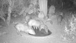 Download Wildlife at a Sonoran desert water hole Video
