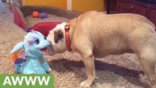 Download Khaleesi the Bulldog and her dragon friend Video
