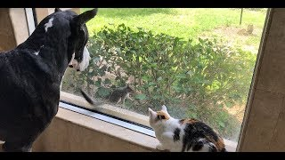 Download Squirrel Teases Great Dane and Cat ~ Everyone Gets a Surprise Video