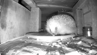 Download Hedgehog Street: Bulking up for winter Video