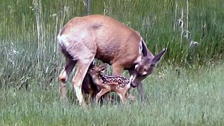 Download Deer Feeding Her Triplets on Our Property Video