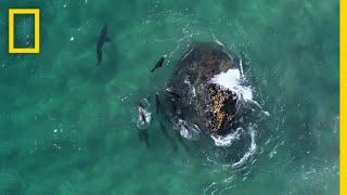 Download Fur Seals vs. Great White Sharks   Hostile Planet Video