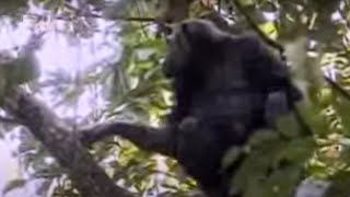 Download Mother chimpanzee protects her cute babies from other suspicious monkeys - BBC wildlife Video