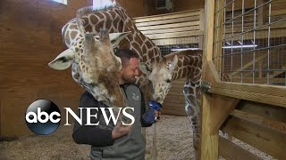 Download April the giraffe might be pregnant again Video