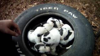 Download Mother and 9 puppies at dead end street. Macon bibb Animal welfare Video