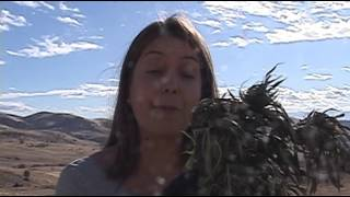 Download Sheriff says Siskiyou County is overwhelmed with illegal marijuana grows Video