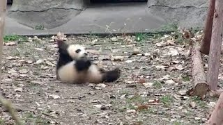 Download Cute Alert! Angry baby panda: Don't touch my favorite toy! Video
