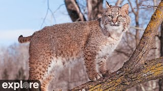Download Bobcat Rehab and Release - Big Cat Rescue powered by EXPLORE.ORG Video