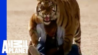 Download Fatal Attractions: Living With Tigers Video