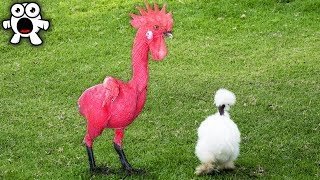 Download Top 20 Bizarre Roosters You Won't Believe Actually Exist Video