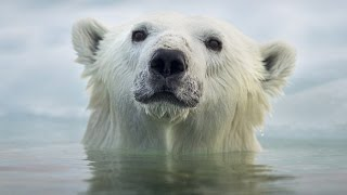 Download Face To Face With The Polar Bear (Wildlife Documentary) Video