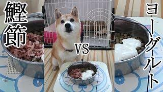 Download 柴犬小春 自分の特大ゲップでビックリ!どっちから食べる?鰹節vsヨーグルトで大興奮 Shiba Koharu eats Katsuobushi and Yogurt Video