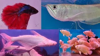 Download Betta Fish, Arowana Fish, Shark Fish, Oscar Fish at Pari Aquarium Fish Shop Video