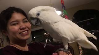 Download Cockatoo Singing & Dancing like a Pro 😎🤣🤣🤣 Video