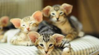 Download Oriental kittens Video