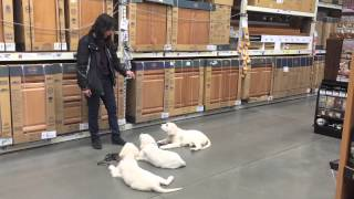 Download 14 Week Old English Cream Golden Retrievers in Home Depot Video