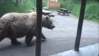 Download Must See!!!! Huge Brown Bear walking past Brooks Lodge Ranger Station. HD Video