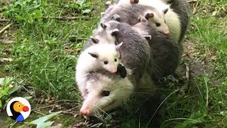 Download Possum Mom Carrying Babies is the Best Thing Ever | The Dodo Video
