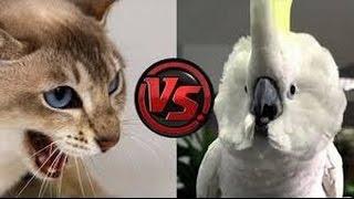 Download Funny Cats vs parrots Compilation 2016 Video
