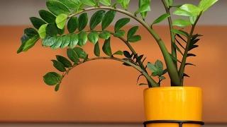 Download Долларовое дерево ЗАМИОКУЛЬКАС | Растение, приносящее удачу. Уход и размножение Video