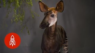 "Download This ""Forest Giraffe"" Can Lick Its Own Ears! Video"