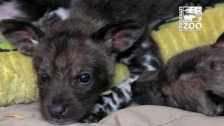 Download Painted Dog Pups Get Cheesy Names - Cincinnati Zoo Video