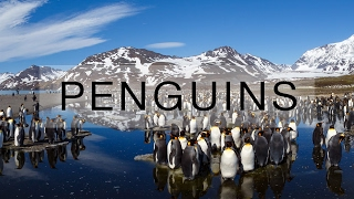 Download Thousands of penguins on South Georgia island Video