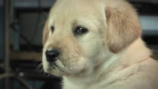 Download Cute Labrador Puppies Video