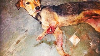 Download Dog suffering on the streets of Punjab gets second chance across the world . ANIMAL RESCUE INDIA Video