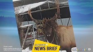 Download One elk of a mesh Video