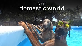 Download Our Domestic World: Animal Challenges & The Pool | The Pet Collective Video